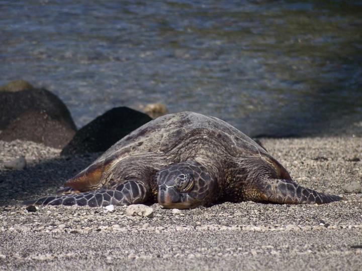 sleepy-green-sea-turtle